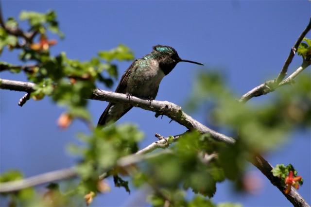 hummingbird sacramentos 2009
